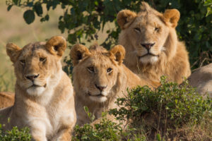 Portrait of three lions