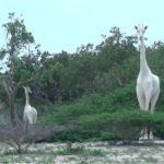 White Giraffes, Bears, and Buffalo, Oh My!