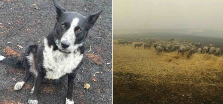 More Than 220 Sheep Saved From Australian Bushfires After Heroic Pup Herds Them to Safety